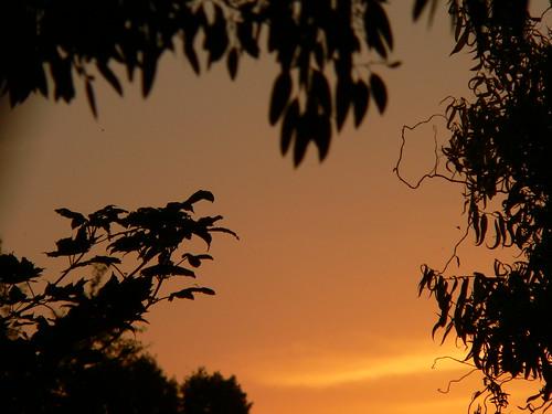 sycamore eucalyptus corkscrewwillow