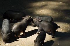 Piglets kissing (Stewart) Tags: cute animals zoo kiss pigs petting pettingzoo victoriabc piglets susscrofa vietnamesepotbellied