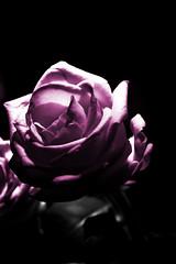 In the spotlight (Andreas Reinhold) Tags: lighting pink light shadow blackandwhite bw white black flower rose cutout dark key bright top background low violet sigma spotlight sw 1770 lowkey 70mm 1770f28