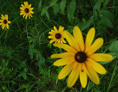 Black-eyed Susan (rudbeckia) (lucycat) Tags: flowers weeds rudbeckia blackeyedsusan