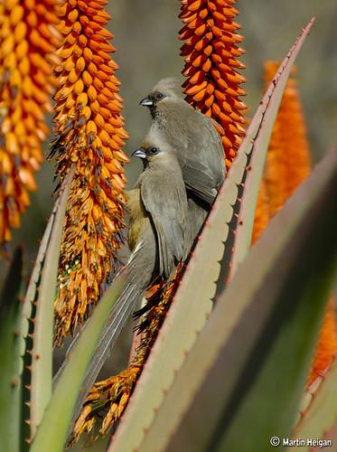 Mousebirds on Aloe ferox flowers