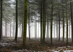 Fog in the Forest II ([martin]) Tags: trees winter mist snow leaves fog mystery forest martin fir thaw martinbiskoping