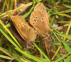 """Ringlet Butterflies Mating • <a style=""""font-size:0.8em;"""" href=""""http://www.flickr.com/photos/57024565@N00/189455672/"""" target=""""_blank"""">View on Flickr</a>"""