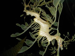 AF927 Sea Dragon (listentoreason) Tags: fish nature animal geotagged favorites score50 aplusphoto
