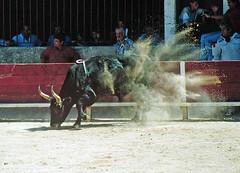 course camarguaise (bullfighting) (elfis gallery) Tags: france nature animal fauna french bull bulls provence bullfighting animalic todolist southfrance bilderfantasien coursecamarguaise 99wordswild