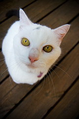 Turkey??? (regularjoe) Tags: family cat snowy oldlady whitecat 10yearsold oldfriend loveher greatpet ourcat partofthe appeasingtheflickrgods andjkonig hasagreytail itisimpossibletoquantifytheamountofloveinthoseeyesassheslookingatyou smillasayshey