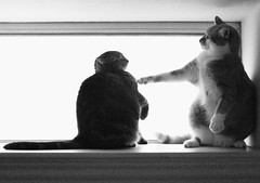 I know that one! Youre a beaver! (Kevin Steele) Tags: toby bw cats window cat tabby kitty kitties xena ballhead kittypuppettheatre