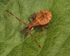 "Dock Bug (Coreus marginatus) nymph(3) • <a style=""font-size:0.8em;"" href=""http://www.flickr.com/photos/57024565@N00/193467626/"" target=""_blank"">View on Flickr</a>"
