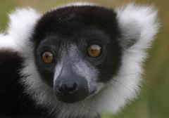 Brown eyes (Chrissie64) Tags: nature wonderful mammal eyes flickr wildlife lemur myfavourites primate endangeredspecies ruffedlemur blackandwhiteruffedlemur specanimal animalkingdomelite durrellwildlifeconservationtrust