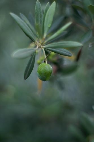 オリーブ(Olive)