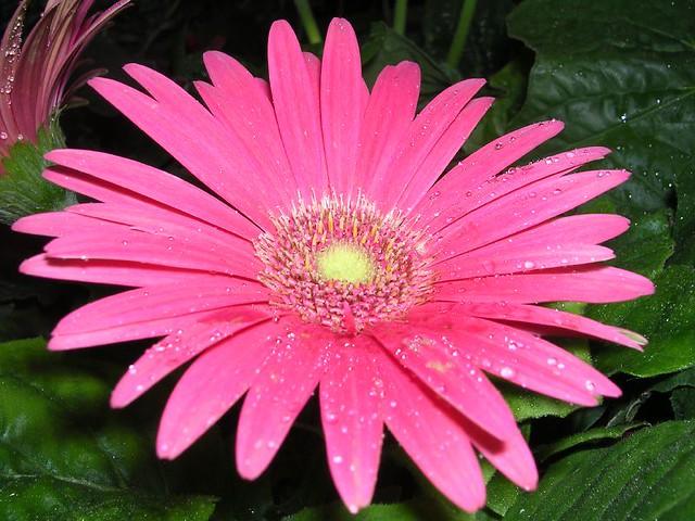 pink flower wet daisy gerber