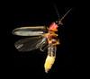 firefly 8823