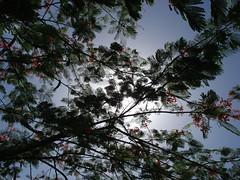 DSC01040 (iomizmmo) Tags: trees sky green nature forest puertorico bosque flamboyan 1con