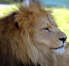 Contented Cat (Patrick Costello) Tags: d50 lion explore longleat specanimal animalkingdomelite