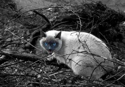 Blue-eyed Anger