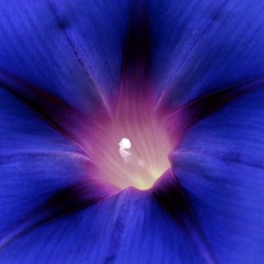 morning glory (jude) Tags: blue summer white flower macro eye beautiful closeup square interior 2006 explore jude judith morningglory squared interestingness11 meskill judithmeskill twtme abigfave 2pair 30faves30comments300views musicaltitle convulvulaceae 50faves50comments500views judeonflickr highestposition11onfridayjanuary182008