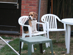 Dax (.Katy) Tags: dog beagle daxter