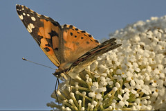 Painted lady (afterforty with a broken camera) Tags: paintedlady vanessacardui