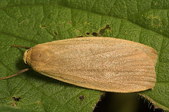 """Dingy Footman Moth (eilema griseola) • <a style=""""font-size:0.8em;"""" href=""""http://www.flickr.com/photos/57024565@N00/205846983/"""" target=""""_blank"""">View on Flickr</a>"""