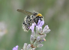dusty bumblebee (cornettino) Tags: summer flower tag3 taggedout ilovenature tag2 tag1 bumblebee