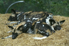 Painted Hunting Dog (tim ellis) Tags: wild dog animal painted hunting carnivore colchesterzoo sleepingdogs msh0309 msh0909 msh030915 msh090914