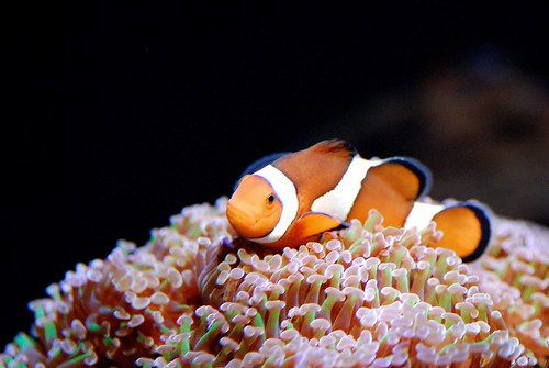 CLOWN ANEMONE FISH_