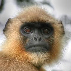 Primate, portrait. (Java Cafe) Tags: india eye nature topf25 animal closeup monkey interestingness topf50 topf75 bravo quality wildlife 500v50f ape hanuman gaze primate langur simian freerange f50 westbengal f75 top20favview magicdonkey interestingness33 i500 semnopithecusentellus  santiniketan specanimal animalkingdomelite abigfave explore27aug06 thegalleryoffinephotography
