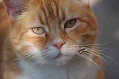 Jasper the cat (Patrick Costello) Tags: orange cat d50 ginger jasper bestofcats