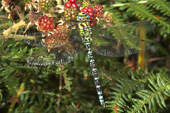 "Southern Hawker (Aeshna cyanea) Drago(5) • <a style=""font-size:0.8em;"" href=""http://www.flickr.com/photos/57024565@N00/228483582/"" target=""_blank"">View on Flickr</a>"