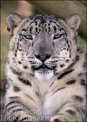 Snow-Leopard_DSC1220