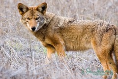 The body says what words cannot. (wildphotons) Tags: coyote canislatrans specanimal animalkingdomelite