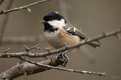 Coal tit (Shane Jones) Tags: coaltit tit bird gardenbird wildlife nature nikon d500 200400vr