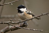 Coal tit (Shane Jones) Tags: coaltit tit bird gardenbird wildlife nature nikon d500 200400vr