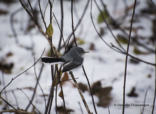 Gobemoucheron gris-bleu DSC_6331w  Explore No. 392