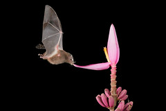 Bat (6471) (Bob Walker (NM)) Tags: ecuador tandayapa bat 50kmnwofquito pichinchaprovince