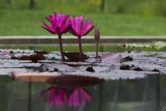 Bright pink Water lily blooms (Lucie Maru) Tags: pink flowers summer flower reflection nature water garden pond stem waterlily lily bright floating reflect waterlilies bloom bud blooms float humid waterscape pinkandgreen firepink abovewater tranqual reflectedinwater hotpinkcolor floatonwater