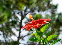 ~ Hibiscus 2 ~ (iTail ~ 4 MILLION VIEWS ~ Thanks to all.) Tags: canon bokeh hibiscus stevepage centralflorida itail ef50mmf12lusm stephenpage canon5dmarkiii ef100mmf28lmacroisusm canon7dmarkii fujifilmxt1