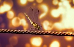 Dragonfly (Delbrücker) Tags: macro nature insect dragonfly bokeh natur makro libelle insekt nikkor105mm nikond610