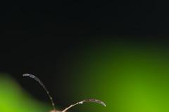 (Helder Faria) Tags: macro nature bug insect nikon natureza ngc beetle inseto micro antena nikkor ntg antenna arthropoda nationalgeographic coleoptera 200mm feeler cerambycidae besouro r1c1