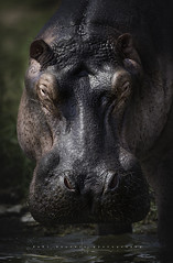 Hippopotamus. Queen's Elisabeth Park. Uganda. (Ral Barrero fotografa) Tags: africa wildlife hippo uganda hipopotamo