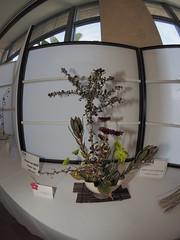 "Barberry Mums & Protea by Anna Hutchinson ""Koryu School"" (nano.maus) Tags: fisheye lauritzengardens japaneseflowerarrangement omahabotanicalsociety japaneseambiencefestival"
