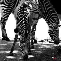 funny of zebras (gillouvannes56) Tags: blackandwhite france animals zoo noiretblanc wildlife cher zebra et abstrait loiretcher loir faune 2015 zebres beauval parcanimalier landscapelightlumierebrouillardseacanon7dsunsoleil