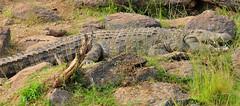 JHG_9777-b Big Crocodile along the Mara River, Kenya. (GavinKenya) Tags: africa wild nature animal june john mammal photography gavin photographer kenya african wildlife july grand safari dk naturephotography kenyasafari africansafari 2015 safaris africanwildlife africasafari johngavin wildlifephotography kenyaafrica kenyawildlife dkgrandsafaris africa2015 safari2015 johnhgavin