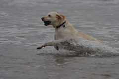 Dog playing at Lahinch (seanneachtain) Tags: sea dog playing lahinch