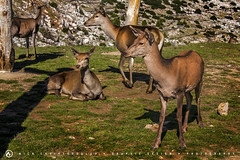 Deers resting under the sun (nikhrist) Tags: field nick relaxing greece resting deers parnitha attiki christodoulou