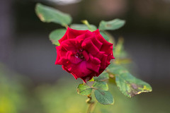 A Solitary Rose (Greg Kintz) Tags: flowers rose bokeh flowersplants conwaysc lumixgh2 lumix425mm17
