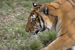 Safari Aitana 24-10-2015 (Sento MM) Tags: safari alicante animales tigre aitana