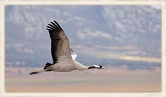 GRULLA COMUN (Grus grus) (JORGE AMAYA BUSTAMANTE - JAKKEMATE) Tags: birds crane wildlife comun grus gallocanta grulla humedales photonature nikond300 birdwachting sigma150500 jakkemate jorgeamayabustamante