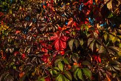 Buntes Herbstlaub-Colored Autumn Leaves (Jutta M. Jenning) Tags: rot laub herbst natur blatt blaetter farbig bunt herbstlaub herbstlich herbstblaetter