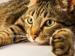 Rdi (Ulmi81) Tags: brown black face cat hair fur big paw eyes gesicht european olympus whiskers short katze braun lying relaxed zuiko fell schwarz entspannt kopf pfote 2015 schnurrhaare liegend 1454 e520
